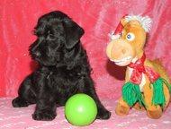 Щенки миниатюрного шнауцера В питомнике Викториас Скилл продаются щенки Миниатюрного шнауцера (Цвергшнауцера) :  - Маленькая (30 – 35 см) порода, ко, Ангарск - Продажа собак,  щенков