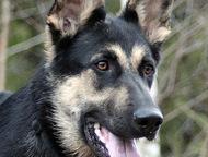Нужен кабель ВЕО для вязки не развязана, с родословной, Березники - Вязка собак