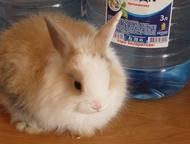 Продаю декоратиных кроликов породы ангора Продаю декоративных кроликов породы ангора, возраст 2 месяца, (1 девочка и 3 мальчика), очень ласковые, игри, Челябинск - Грызуны