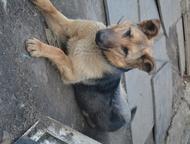 Челябинск: Немецкая овчарка, отдам в добрые руки Отдам в добрые руки овчарку (девочка) 7 месяцев, хорошего защитника, живет на улице в будке, в еде не прихотлива