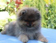 Гатчина: продам щенков померанского шпица Продаются щенки немецкого шпица –мальчики. Окрас- оранжевый - соболь, дата рождения 28. 05. 15, будущий вес 2, 2 -2,