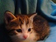 Гатчина: Котята, отдам даром Отдам даром двоих котят, мальчик и девочка. Девочка с белой мордочкой, мальчик с серой.