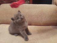 Продам плюшевую, голубую 2м, девочка, с документам Продам плюшевую, клубную, короткошерстный, Британскую голубую девочку 2 месяца , с документами от т, Хабаровск - Продажа кошек и котят