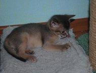Кемерово: Абиссинские котята из питомника Питомник абиссинских кошек Зулу предлагает к продаже абиссинских котят. День рождения 17 августа - кот голубого окра
