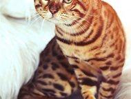 Кемерово: Продам бенгальских котят Любителей экзотики непременно заинтересует предложение о заведении у себя дома маленького леопардика - очень, ну просто очень