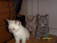 Продам шотландских котят Котята с родословной и документами. Дата рождения 16 октября. Окрасы разные. Возможна передержка до нового года. Цена от 3000, Кемерово - Продажа кошек и котят