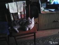 Кемерово: Кот для вязки молодой кот-барсик: готов к встречи с кошечками на его территории. красивый и полон сил. с чётко выраженным рисунком британец. от породи