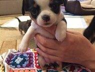 Кемерово: Готовятся к продаже щенки чихуа Готовятся к продаже щенки чихуа, дата рождения 12. 02. 2016, в продаже 2 девочки, 1 мальчик, у всех окрас триколор, ро