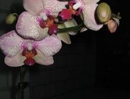 Красноярск: цветы комнатные: спатифиллум, калерия, фикус, щучий хвост и т.д. цветы комнатные;цветущие: спатифиллум (женское счастье), калерия, хоя, глоксиния, дек