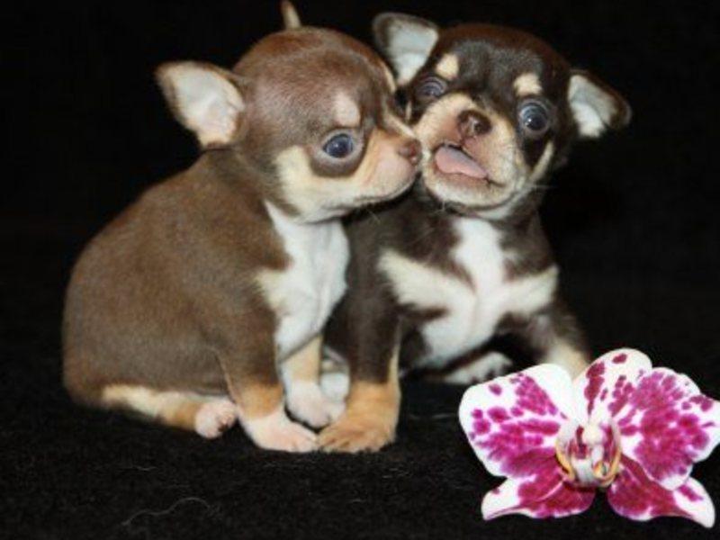 купить собаку на авито в москве породы зала шарами