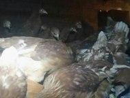 Набережные Челны: Курицы-несушки породы Хайсекс Браун Продаются курицы-несушки красные породы Хайсекс Браун. Количество ограничено. Имеют высокую яйценоскость. Возраст-