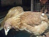 Набережные Челны: Курицы-несушки породы Хайсекс Браун Продам курицы-несушки красные породы Хайсекс Браун. Количество ограничено. Имеют высокую яйценоскость. Возраст на