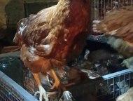 Курицы-несушки породы Хайсекс Браун Продам курицы-несушки красные породы Хайсекс Браун. Количество ограничено. Имеют высокую яйценоскость. Возраст на , Набережные Челны - Птички, клетки