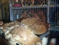 Набережные Челны: Курицы-несушки породы Хайсекс Браун Продаются курицы-несушки красные породы Хайсекс Браун. Количество ограничено. Имеют высокую яйценоскость. Возраст