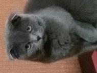 Шотландская вислоухая кошечка 1,3 года без опыта ищет кота Шотландская вислоухая серенькая кошечка Бусинка, без родословной ищет для вязки кота в г. Н, Нижний Тагил - Вязка кошек (случка)