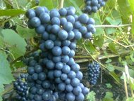 Новосибирск: Продам саженцы винограда в Новосибирске Продам саженцы винограда Столовые сорта Алёшенькин, Валёк, Юбилей Новочеркасска, Преображение, Рошфор, Ливия,