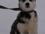 Продам щенков сибирской Хаски Продам щенков сибирской Хаски, чистокровные. Возраст 1 месяц. Остались синеглазые и кореглазые. Цвет чёрный с белым. 2 м, Рязань - Продажа собак,  щенков