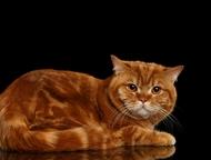 Котик на вязку Молодой красивый кот приглашает на вязку кошек. Чемпион WCF. Развязан, имеет чудесное красивое поколение. Добрый, ласковый, не агрессив, Тобольск - Вязка кошек (случка)