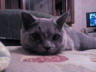 Тольятти: Молодой британский котик ищет подружку для вязки Ищем подружку для первой вязки. Котику год, привитый.