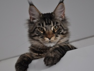 Тула: Мейн-кун котята, Профессиональный питомник, Монопородный питомник мейн-кунов г. Белгород, предлагает котят в отличном. современном породном типе, от т